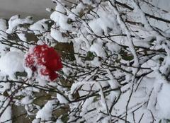 Fleur  sur la neige