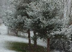 Pins en hiver