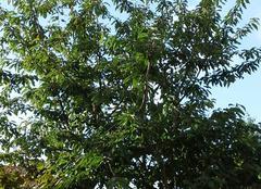Cerisier en �t�