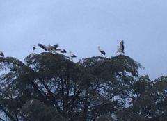 Cigognes à Jouarre