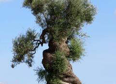 L'olivier centenaire