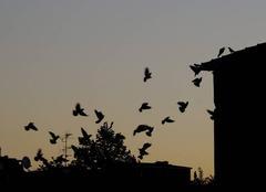 Vol matinal .... des pigeons en vol group�