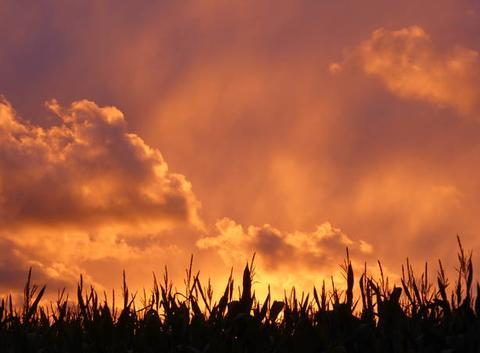Embrasement d'un champ de ma�s au soleil couchant