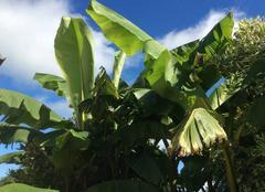 Bananier en Ardenne