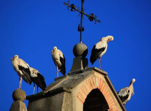 Les cigognes allemandes ont fait une pause migratoire � Malras dans l'Aude