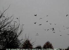Vol de corbeaux dans ciel bien gris