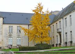 Binkgo biloba ou arbre aux mille écus