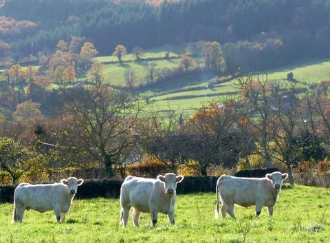 Trois veaux en automne