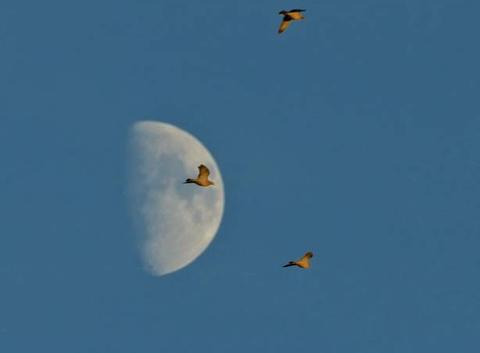 Pigeons de passage devant la lune .