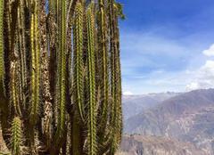 Cactus - cañon de colca - cabanaconde au Pérou