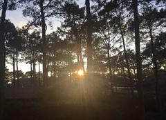 Soleil à travers les pins