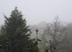 Rose dans le brouillard