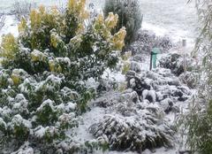 Neige Menoux 70160 Oranger du Mexique sous la neige