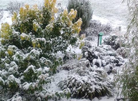 Oranger du Mexique sous la neige