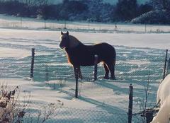 Jument contoise dans la neige