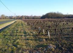 Froid dans les vignes