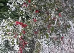 Faune/Flore Roanne 42300 Houx jardin