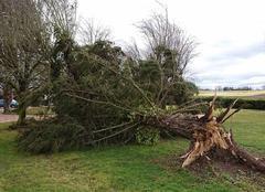 Tempête Saint-Gerand-le-Puy 03150 Sapin de 50 ans arraché par la tempête Leiv