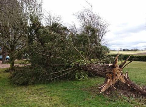 Sapin de 50 ans arraché par la tempête Leiv