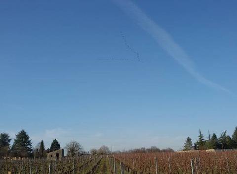 Retour des grues sous une grande douceur au dessus des vignobles bordelais