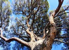 Soleil dans les pins