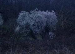 Le printemps annoncé par les arbres cotonneux