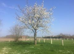 Faune/Flore Daumeray 49640 Cerisier en fleur
