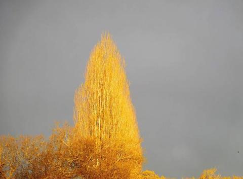 Ce matin les arbres sont en or