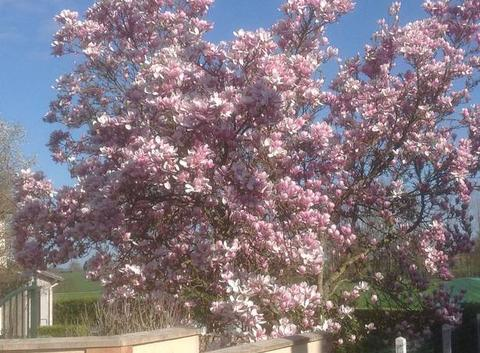 Magnolias de mon voisin