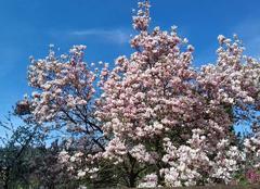 Faune/Flore Laxou 54520 Magnolia en fleurs