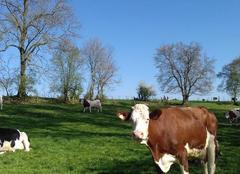 Ciel Forceville-en-Amienois 80560 Même les vaches ont chaud !