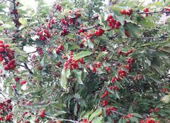 Faune/Flore Saint-Gengoux-de-Scisse 71260 Cerises en grappes