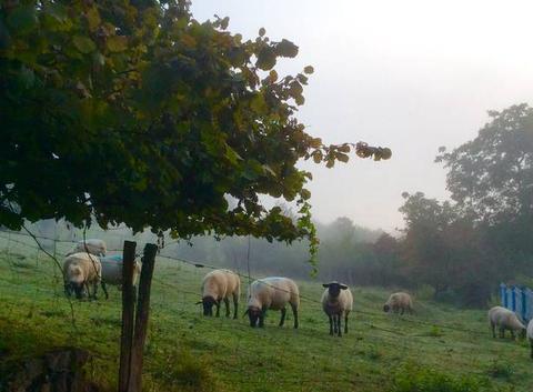 Moutons dans la brume matinale