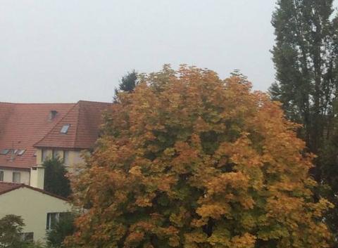 Marronnier en automne