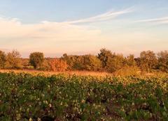 Chaleur Tornac 30140 Coucher de soleil sur les vignes