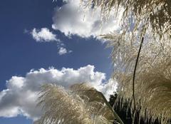 Ciel Paris-18 75018 Herbes de la Pampa au ciel lumineux d'octobre