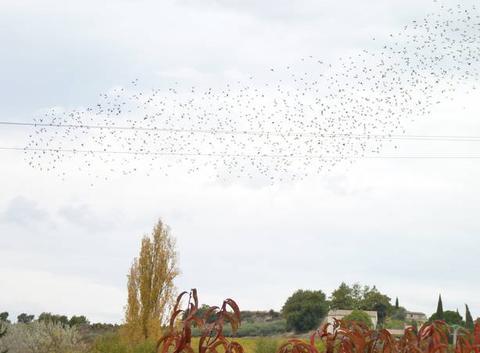 Les oiseaux d'Hitchcock ou tout simplement un vol d'étourneaux sur des feulles de pêcher