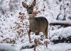 Faune/Flore Saint-Clement 03250 Chevreuil (femelle) dans la neige fraîche.