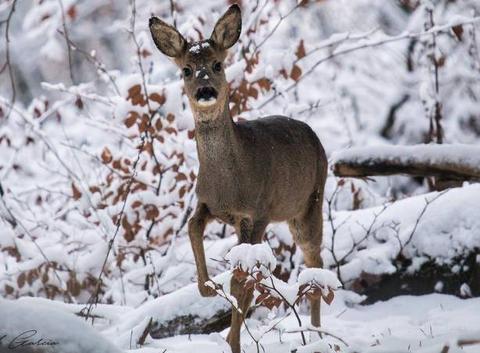 Chevreuil (femelle) dans la neige fraîche.