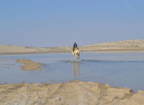 Chameau dans le désert au QATAR