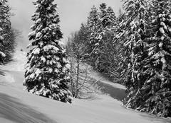 Faune/Flore Saint-Christophe-sur-Guiers 38380 Sapins enneigés