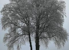 Neige Courtisols 51460 Arbre gelée