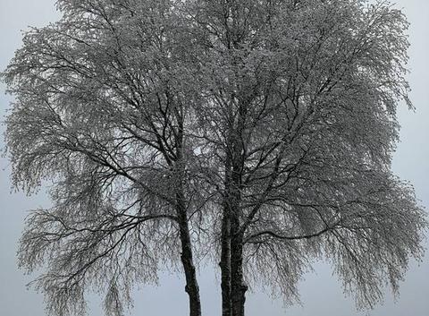 Arbre gelée