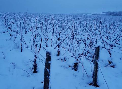 Neige dans les vignes