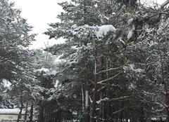 Neige Matemale 66210 Les sapins ont vêtus leur manteau blanc
