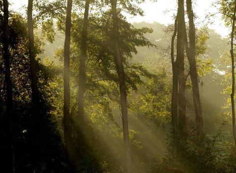 Brume à travers les arbres.