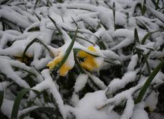 Neige Saint-Julien-les-Villas 10800 Jonquilles sous la neige