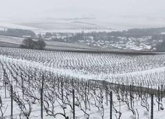 Neige Pierry 51530 Les vignes sous la neige