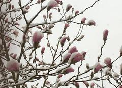 Neige Fontaine-Etoupefour 14790 Magnolia