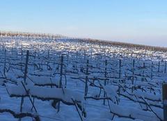 Neige Villers-Allerand 51500 Vignes enneigées